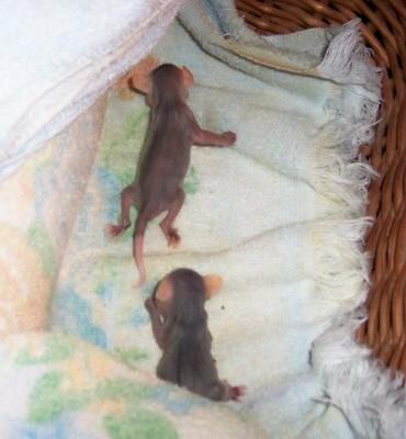 Opossums, Infants, possum